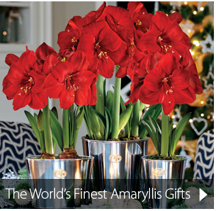 The World's Finest Amaryllis Gifts