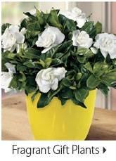 Fragrant Gift Plants